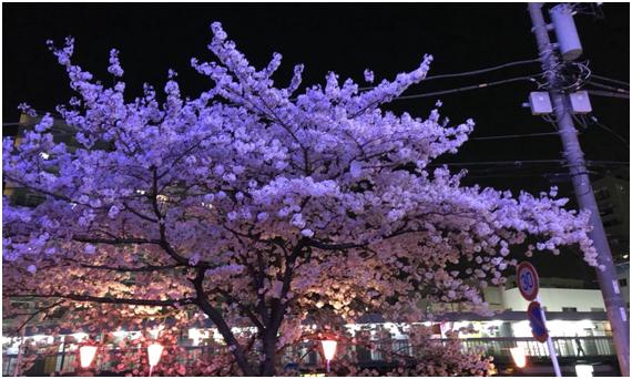 ~夜桜花見がアーカス流~